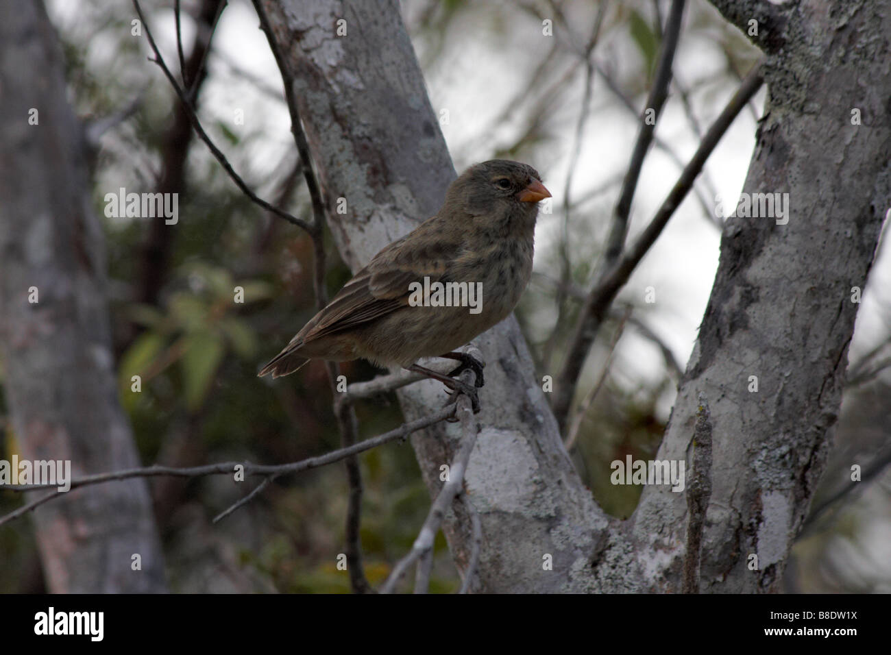 Darwin finch perched in tree at Puerto Ayora Highlands, Santa Cruz Island, Galapagos Islands, Ecuador in September - Stock Image