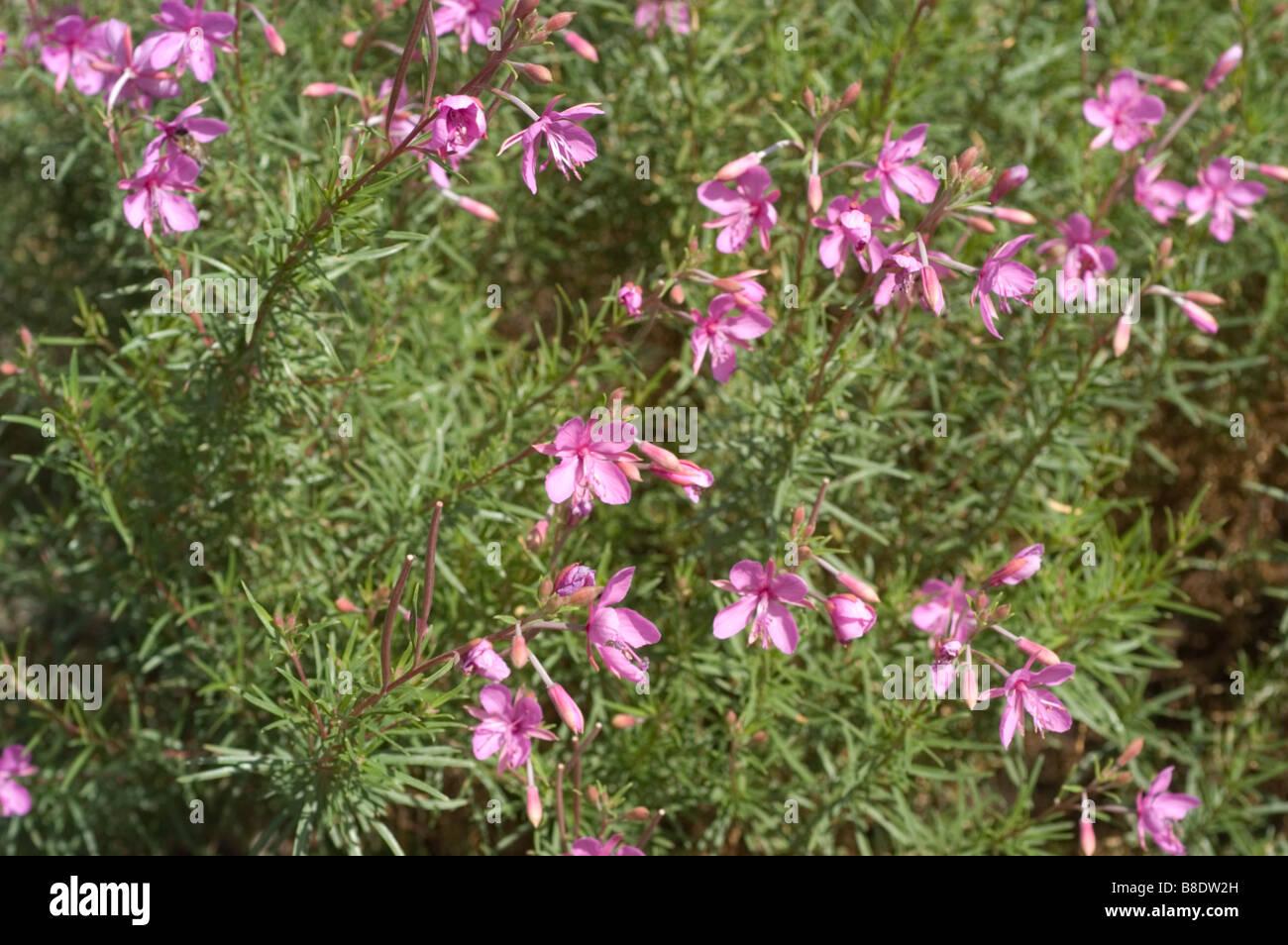 Marsh Willowherb, Onagraceae, Chamaenerion palustre, Epilobium dodonaei - Stock Image