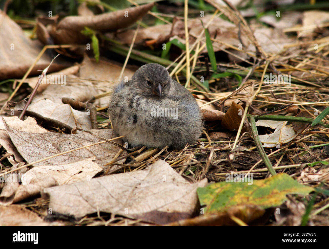 Darwin vegetarian finch, Platyspiza crassirostris, sat on ground at Puerto Ayora Highlands, Santa Cruz Island, Galapagos - Stock Image
