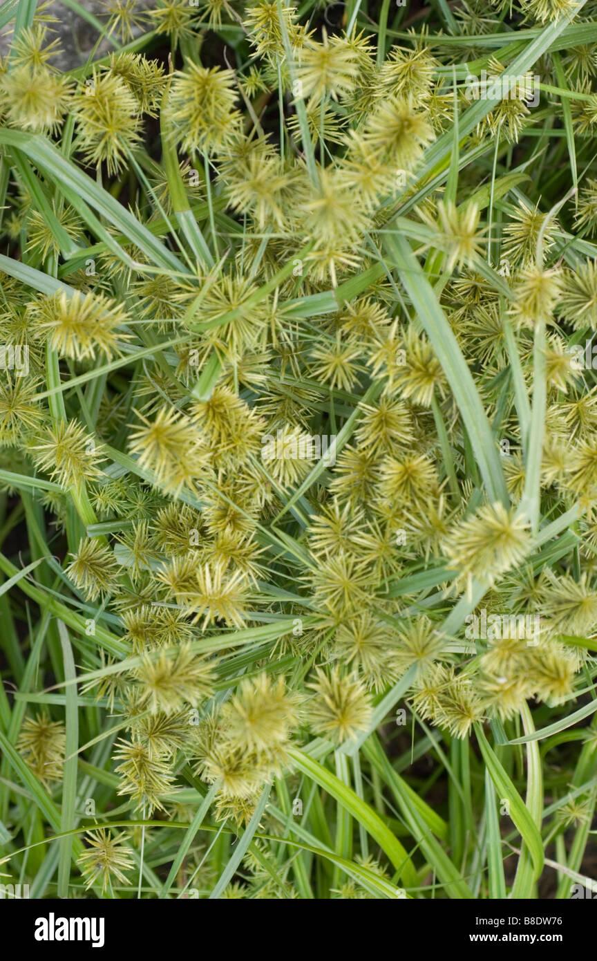 woodland bulrush, Wood Club-rush, Cyperaceae, Scirpus Sylvaticus, Scirpus expansus - Stock Image
