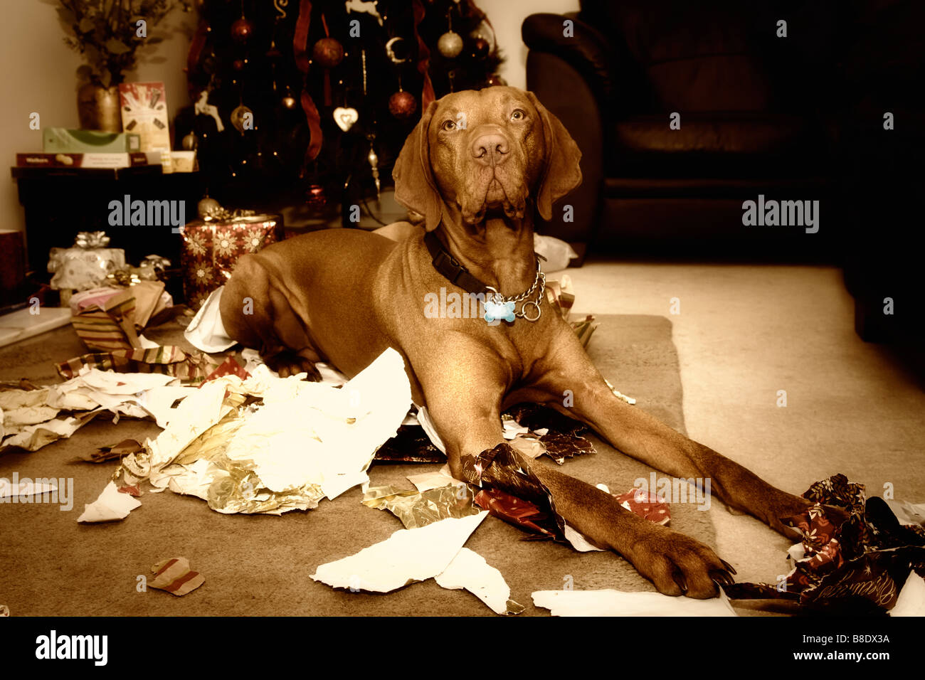Christmas scene of Hungarian Vizsla dog lying amongst shredded xmas wrapping paper that he's just chewed up! Stock Photo