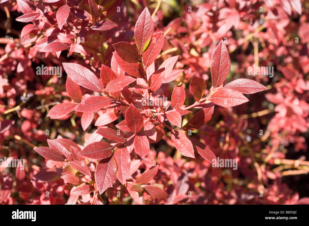 Late lowbush blueberry, Lowbush blueberry, Late low blueberry,  Ericaceae, Vaccinium angustifolium Aiton Emil - Stock Image