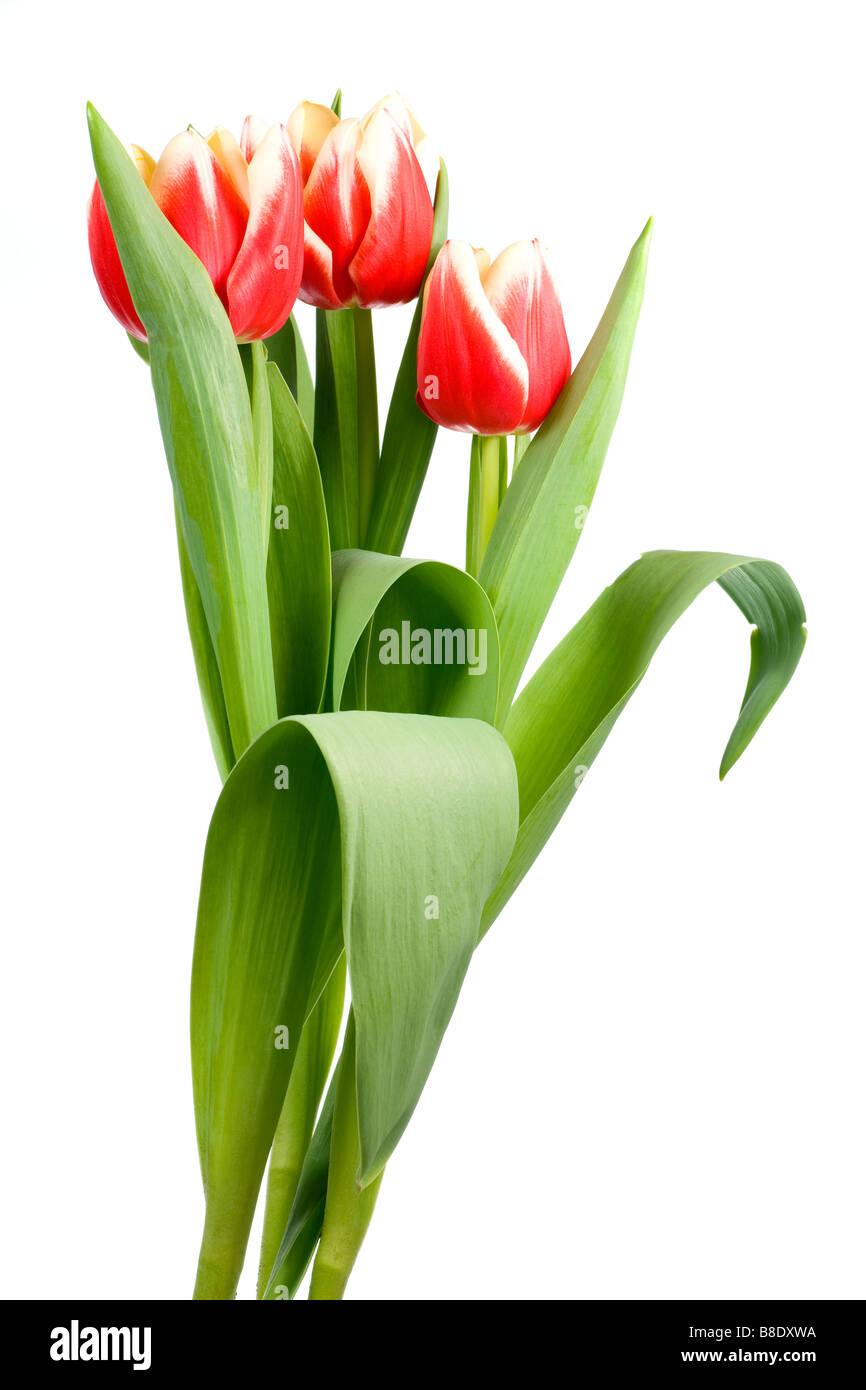 Spring holiday red white tulip flowers on light background - Stock Image