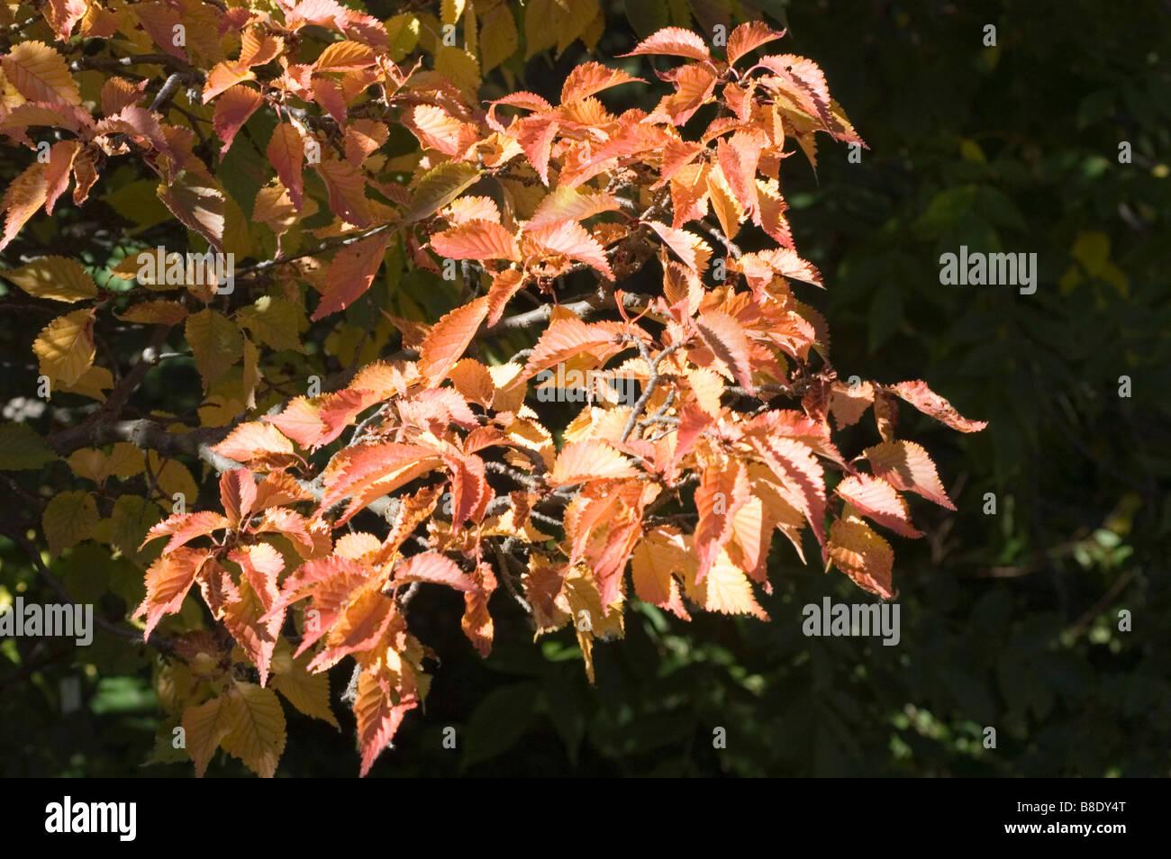 Rosaceae, Prunus x hilleri Kornicensis, fall, autumn - Stock Image