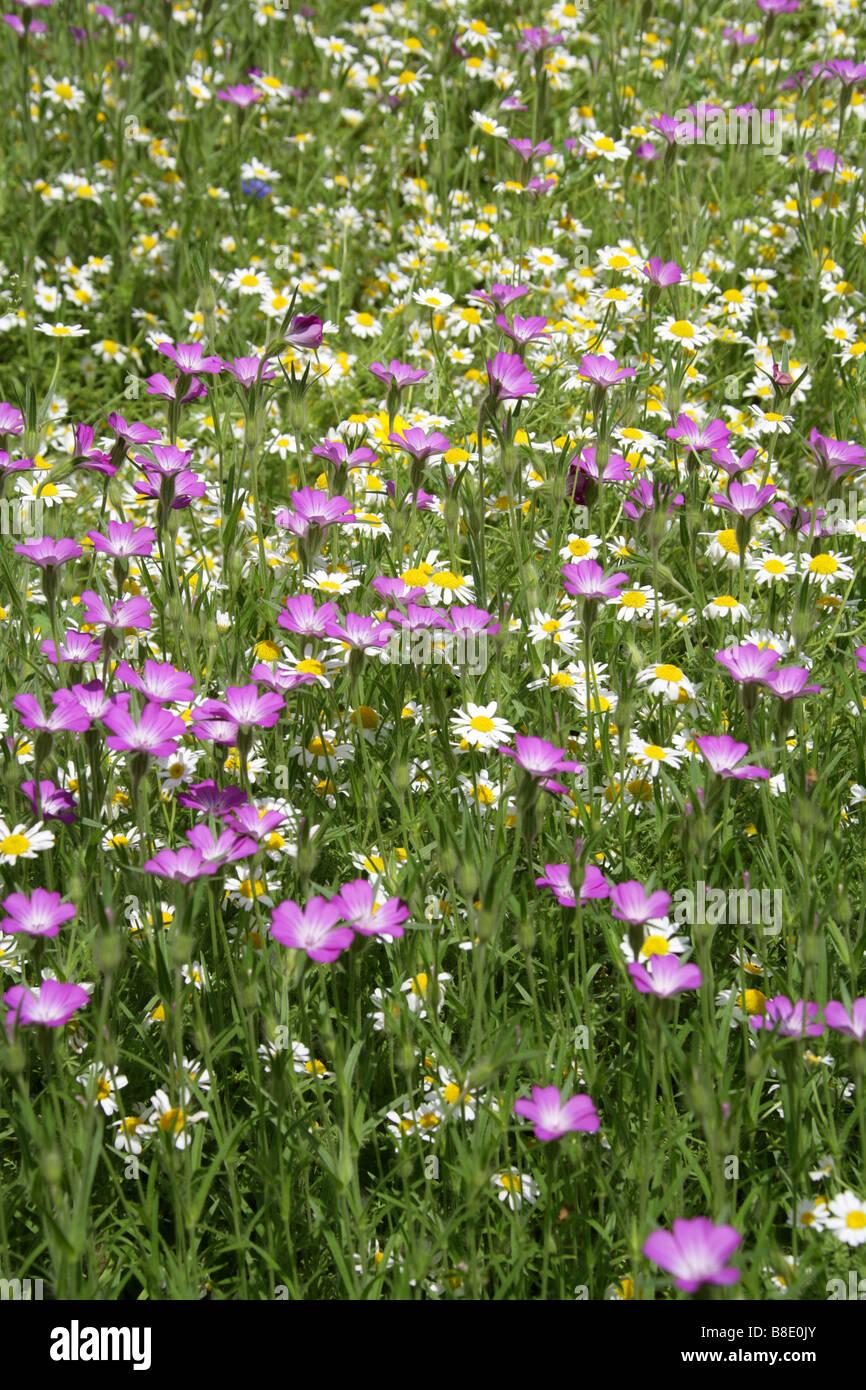 Corn Cockle, Agrostemma githago, Caryophyllaceae and Ox Eye Daisies Chryanthemum leucanthemum Stock Photo