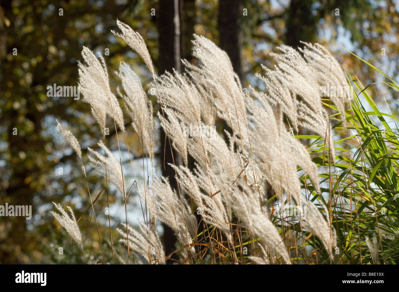 Chinese silvergrass, ornamental grass, Gramineae, Miscanthus sinensis var zebrinus - Stock Image