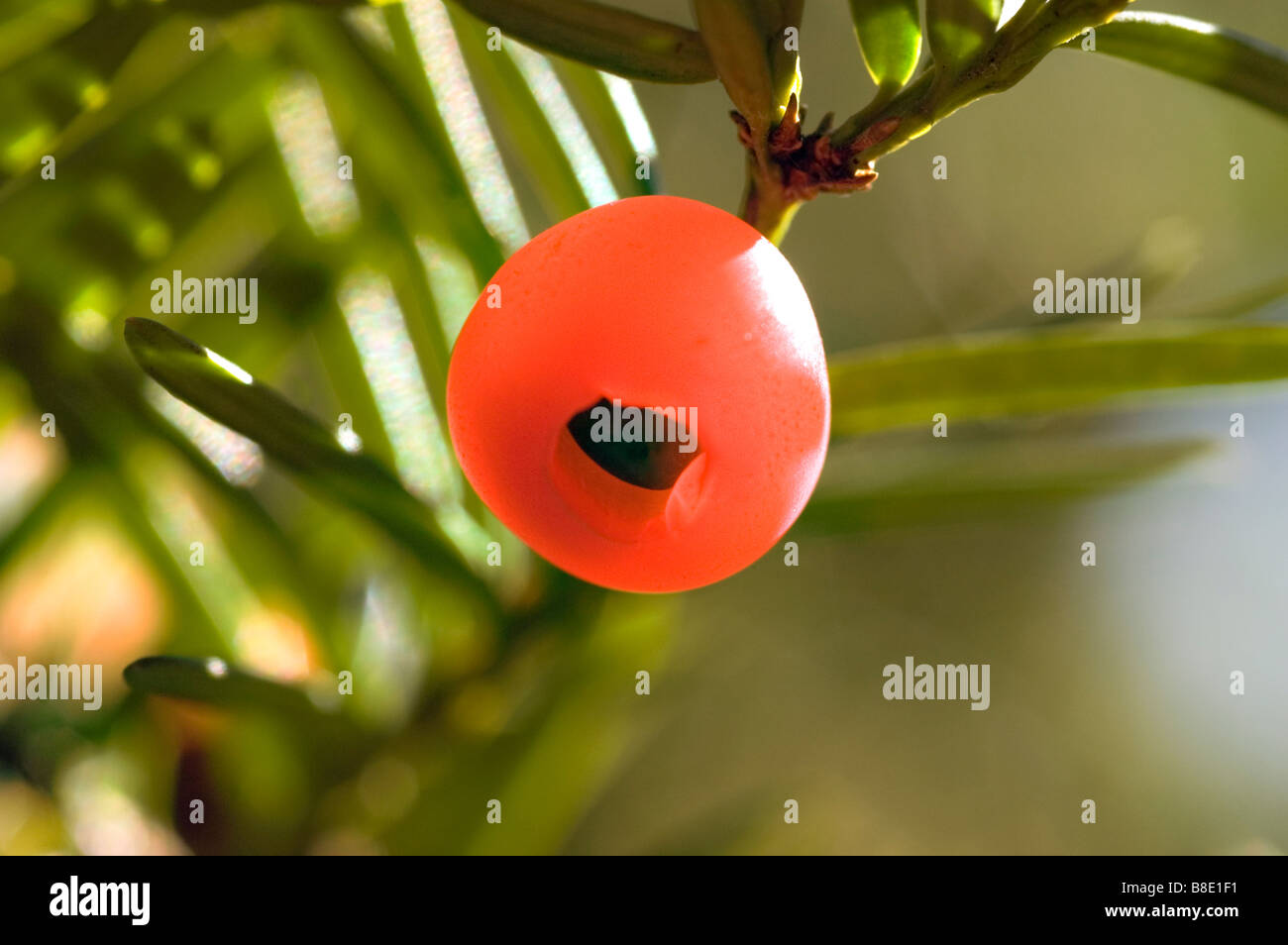 Close up red berry of yew tree Taxus brevifolia - Stock Image