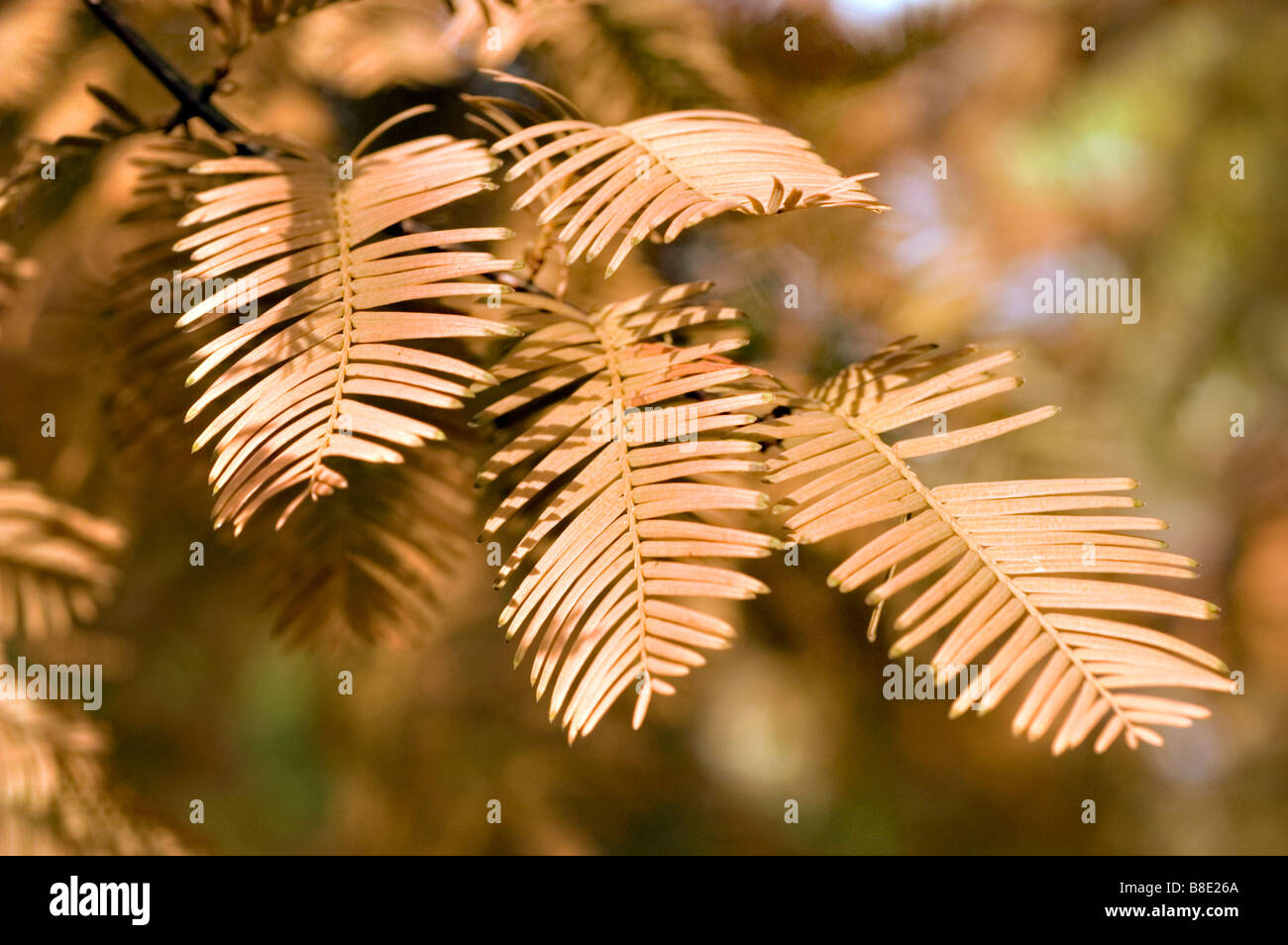 Dawn redwood  Taxodiaceae, Metasequoia glyptostroboides, China, Asia - Stock Image