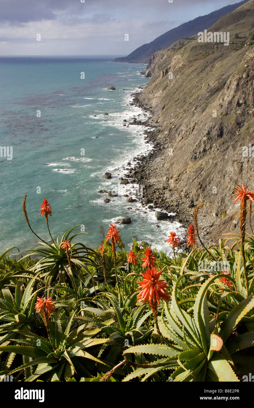 Ragged Point and Red Aloe Flowers - Stock Image