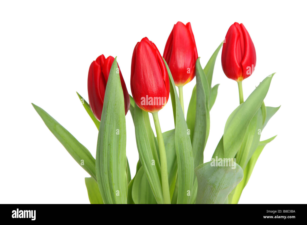 Red tulips cutout isolated on white background - Stock Image