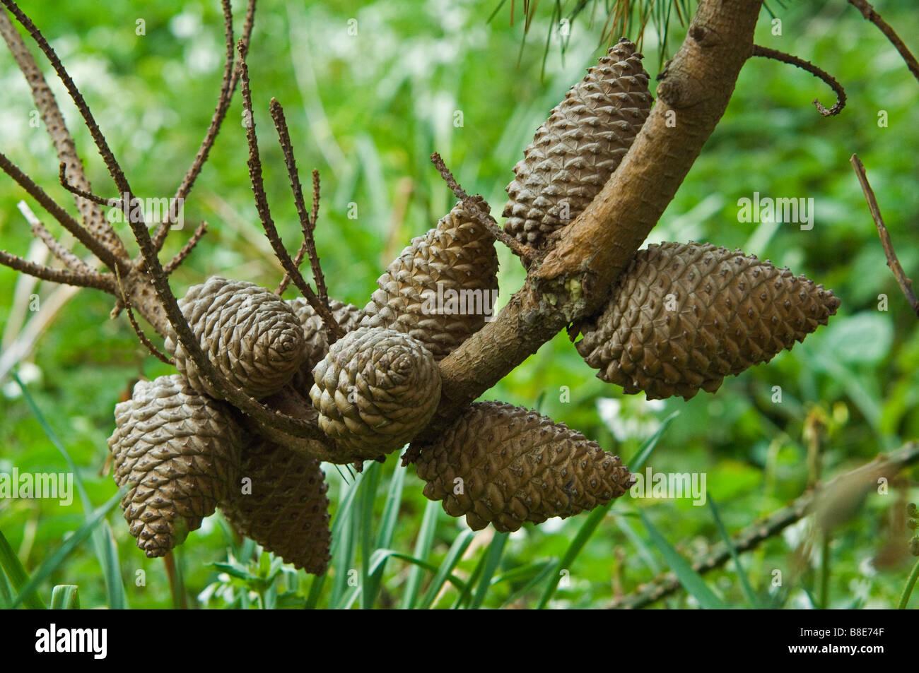 Monterey Pine Cones on Tresco in the Scilly Isles - Stock Image