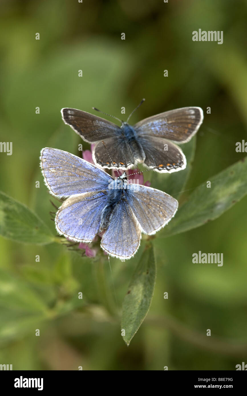 Two common blue butterflies Polyommatus icarus male and female Pulfin Bog nature reserve East Yorkshire UK - Stock Image