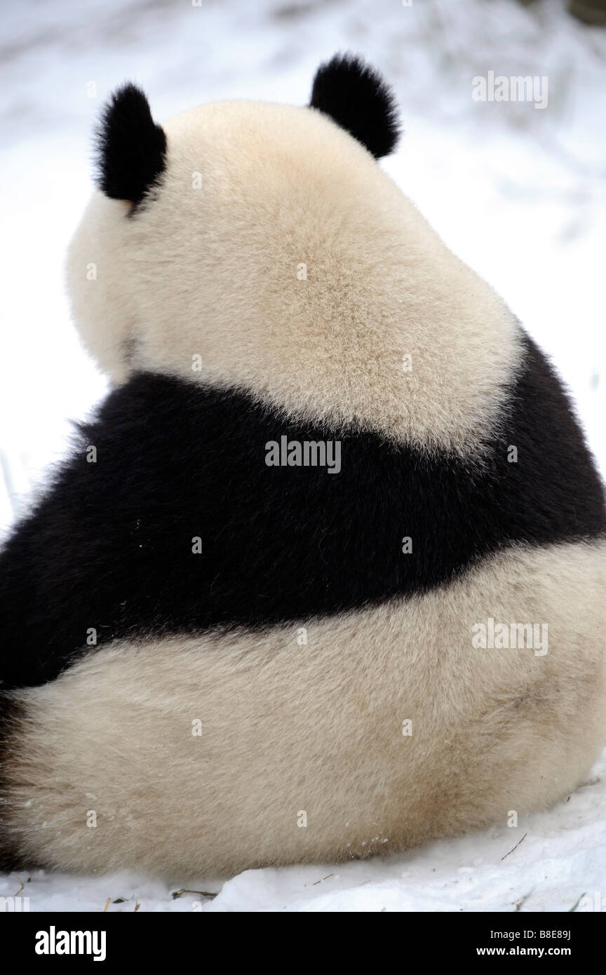 A giant panda at Beijing Zoo. 19-Feb-2009 - Stock Image