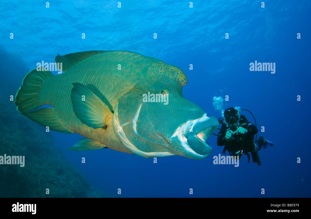 Napoleon or maori wrasse and scuba diver in pristine reef of Brother Islands in Red Sea. - Stock Image