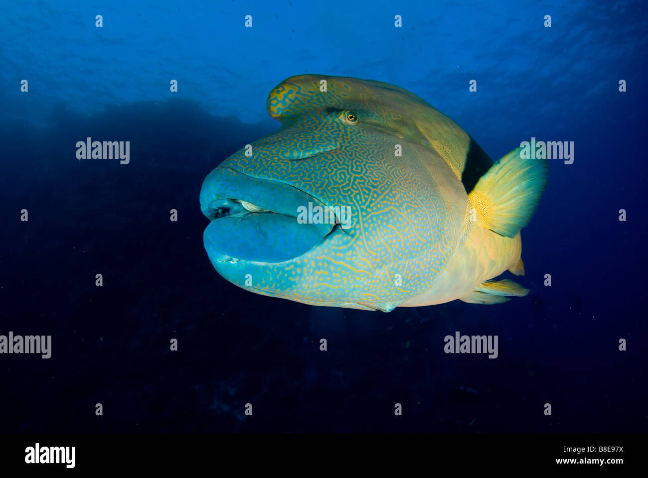 Napoleon or maori wrasse in pristine reef of Brother Islands in Red Sea - Stock Image
