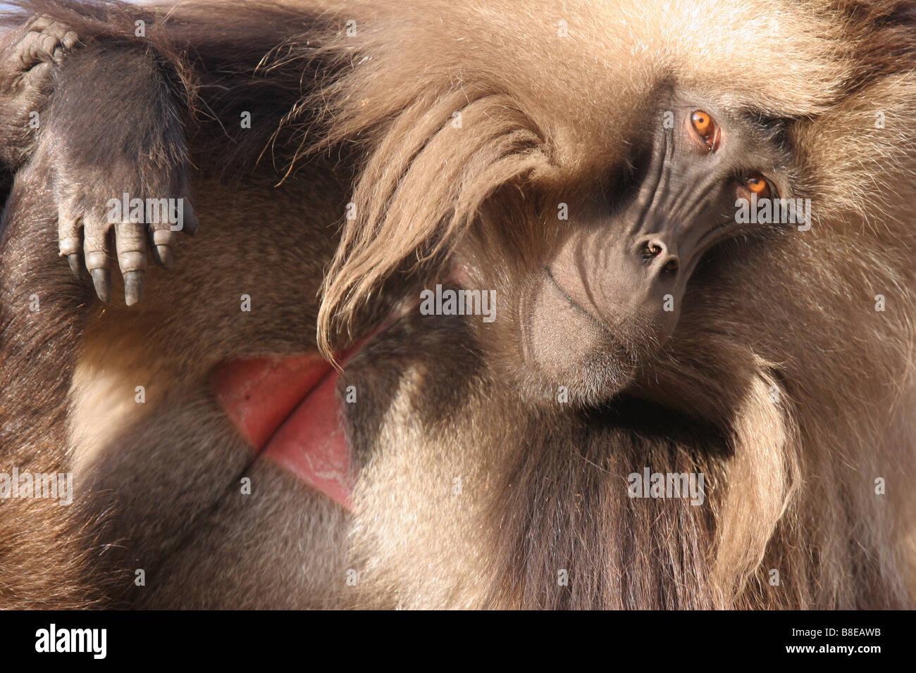 gelada baboon - Stock Image