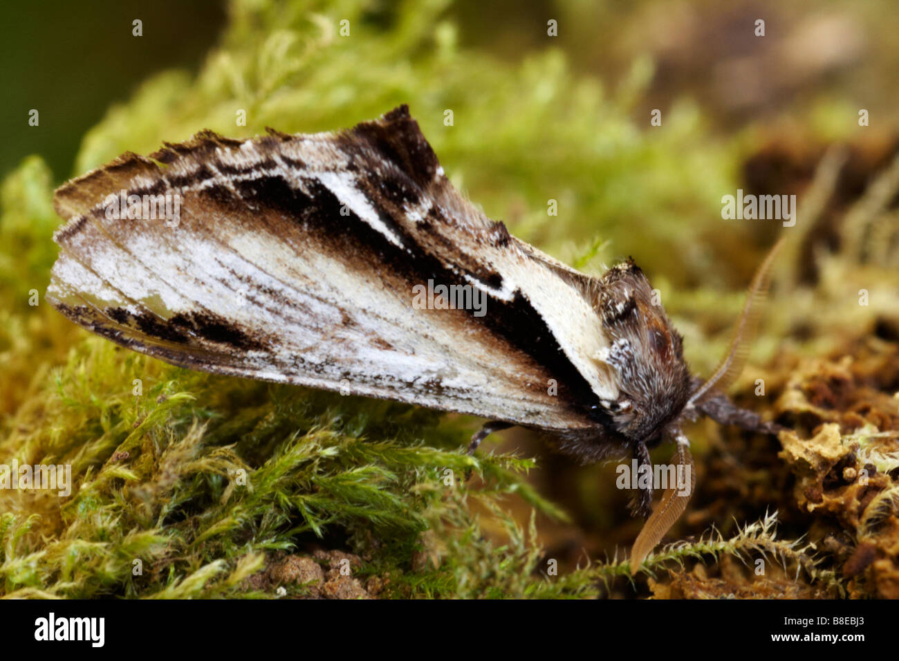 Swallow prominent, Pheosia tremula, moth on mossy bark in August at Dorset - Stock Image