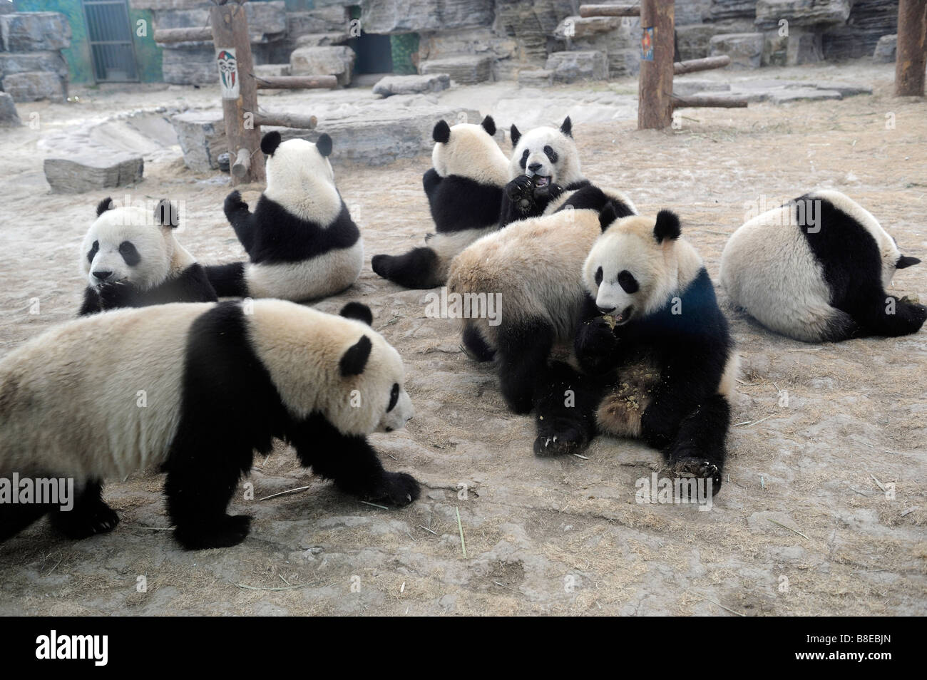 8 giant pandas from the quake-hit area feeding on steamed cornbreads at the Beijing Zoo. 19-Feb-2009 - Stock Image