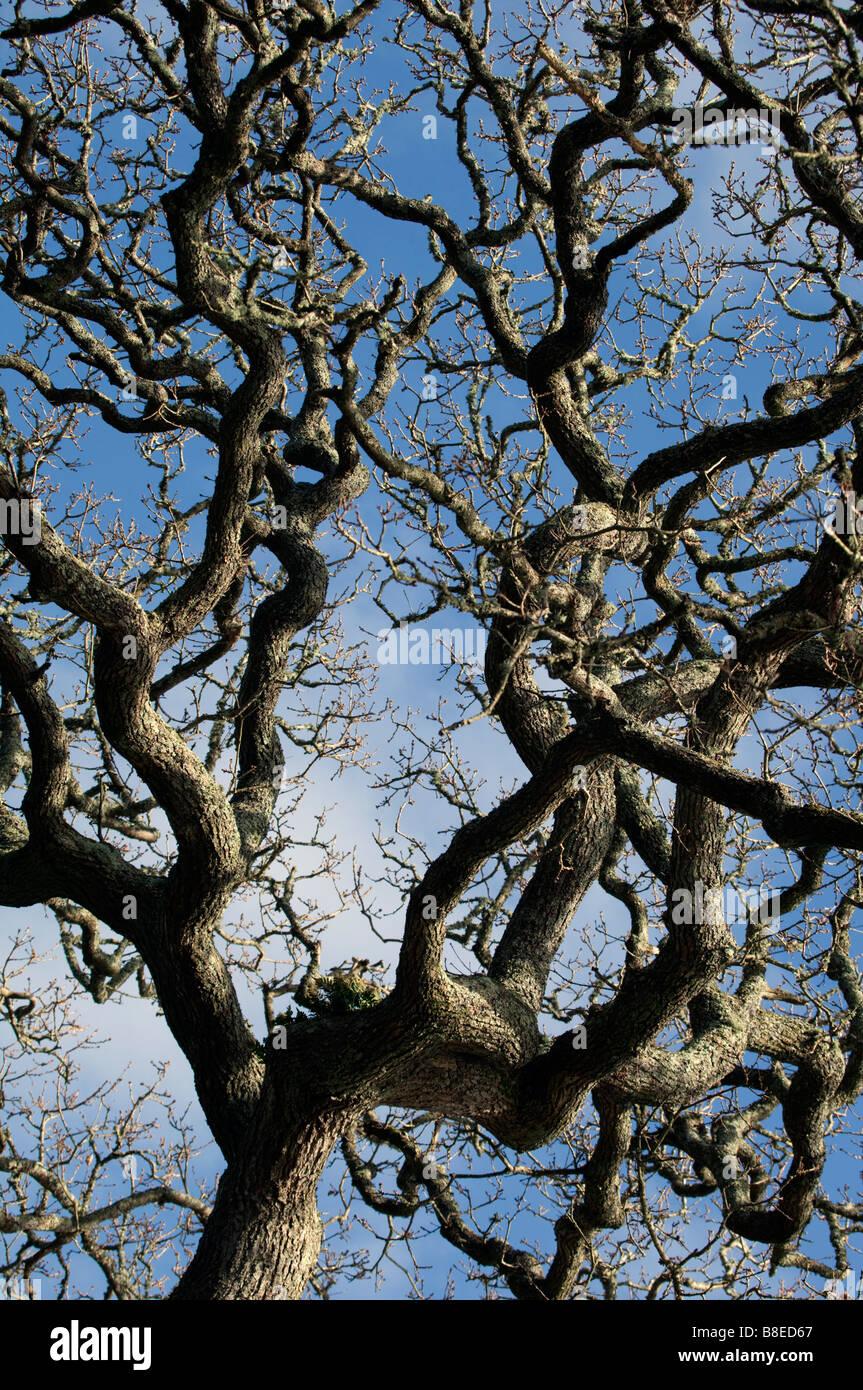 oak Querrcus robur - Stock Image