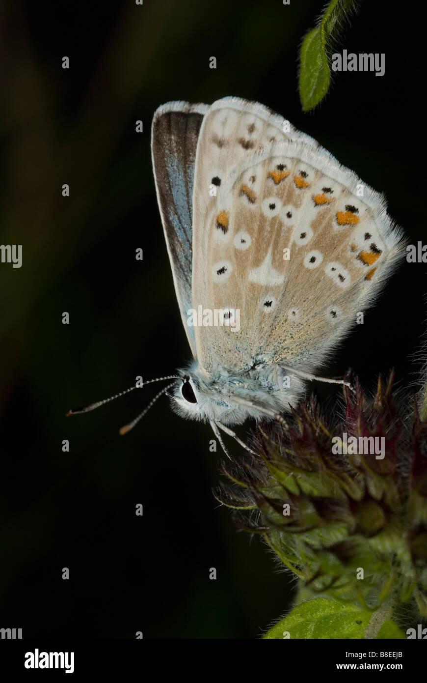 Male Chalkhill Blue butterfly (Polyommatus coridon) - Stock Image