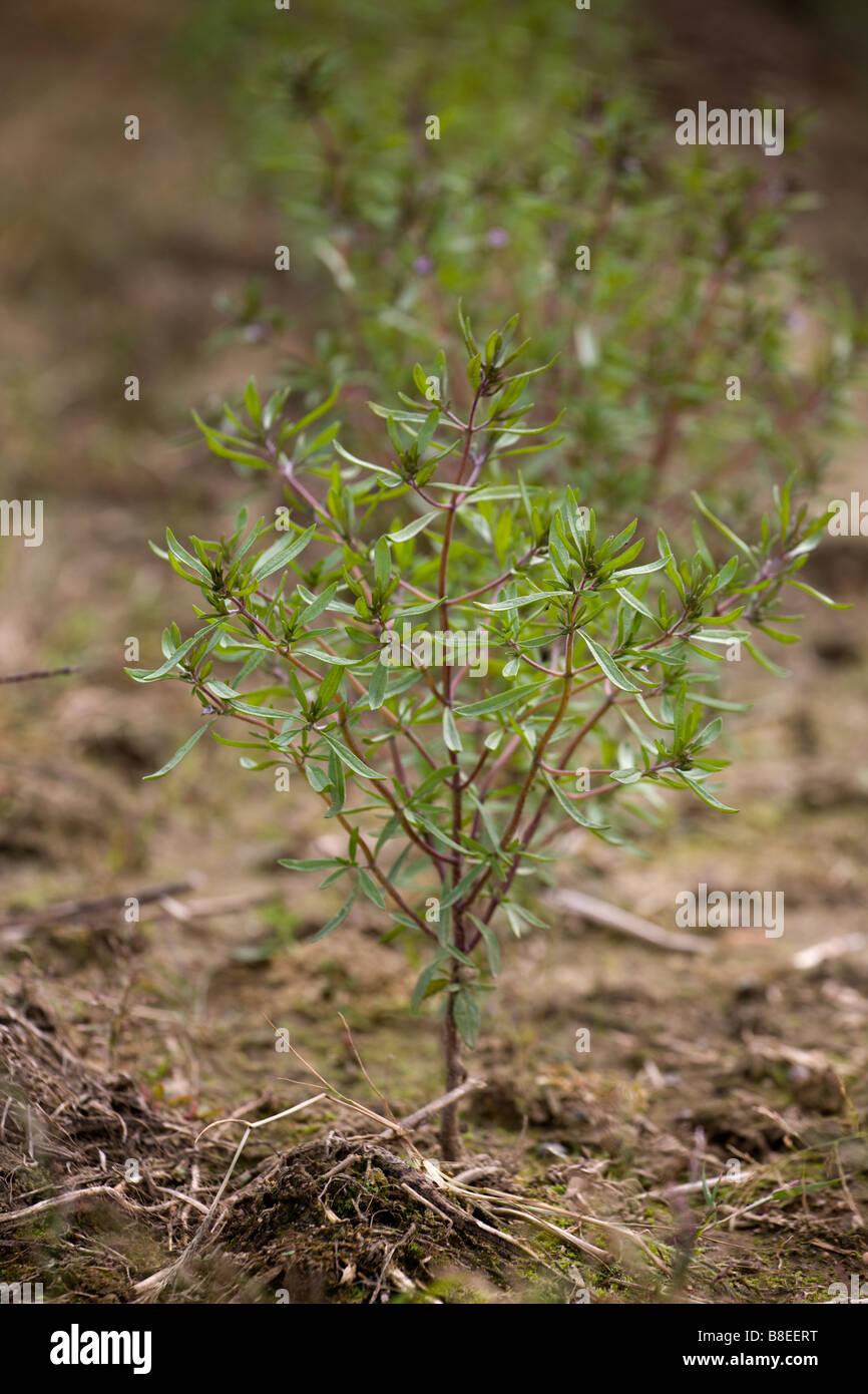 Summer savory (satureia hortensis) Stock Photo