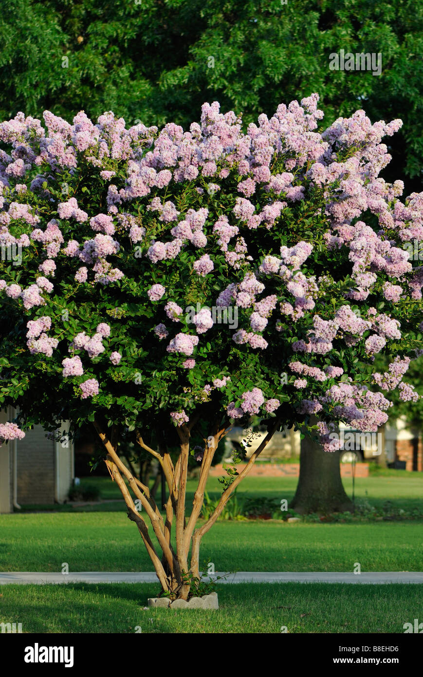 An orchid-colored Crepe Myrtle tree in full bloom. Oklahoma City ...