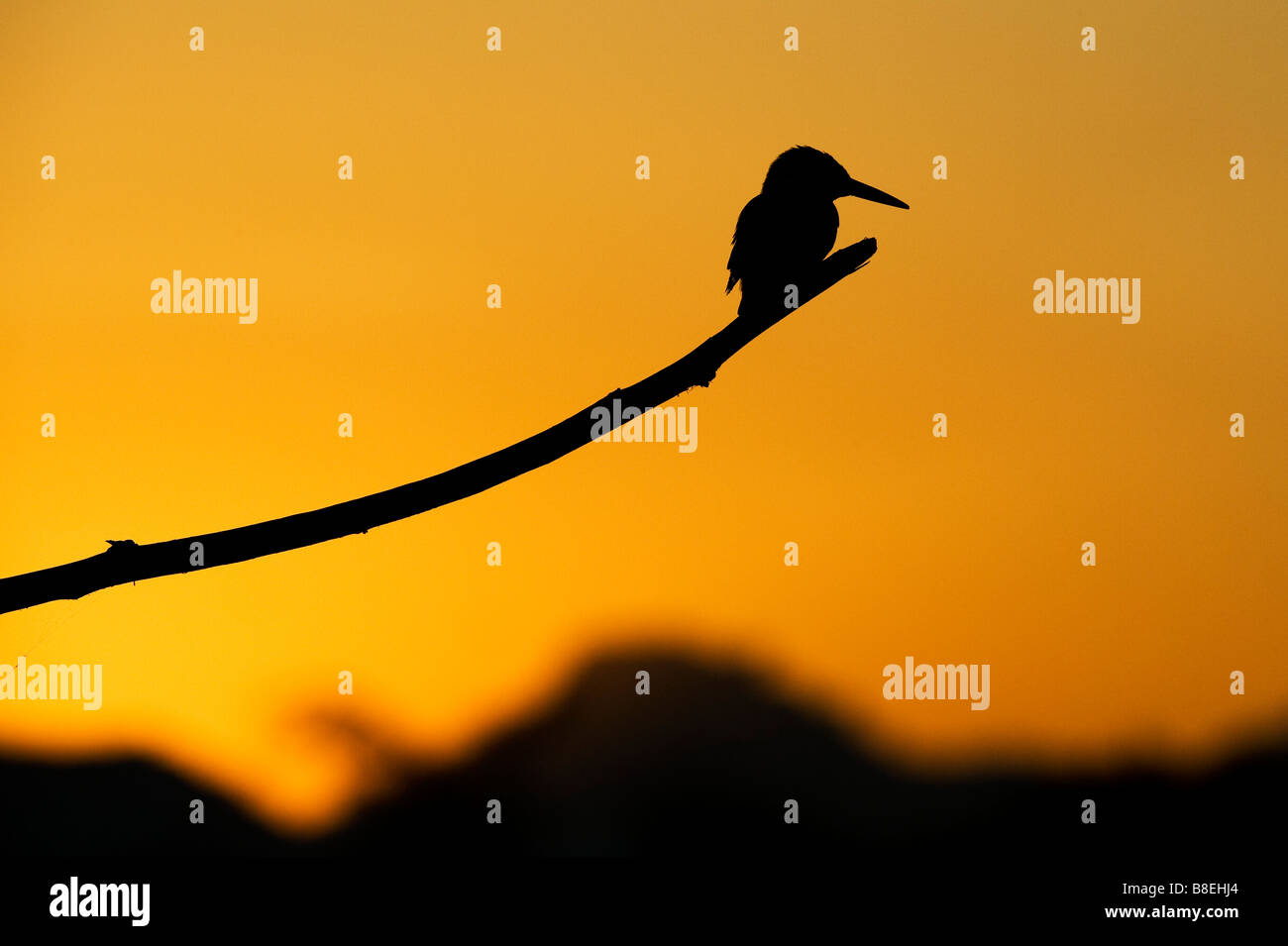 Alcedo atthis. Silhouette of a kingfisher perched on a stick over an indian water well at sunrise. Andhra Pradesh, - Stock Image