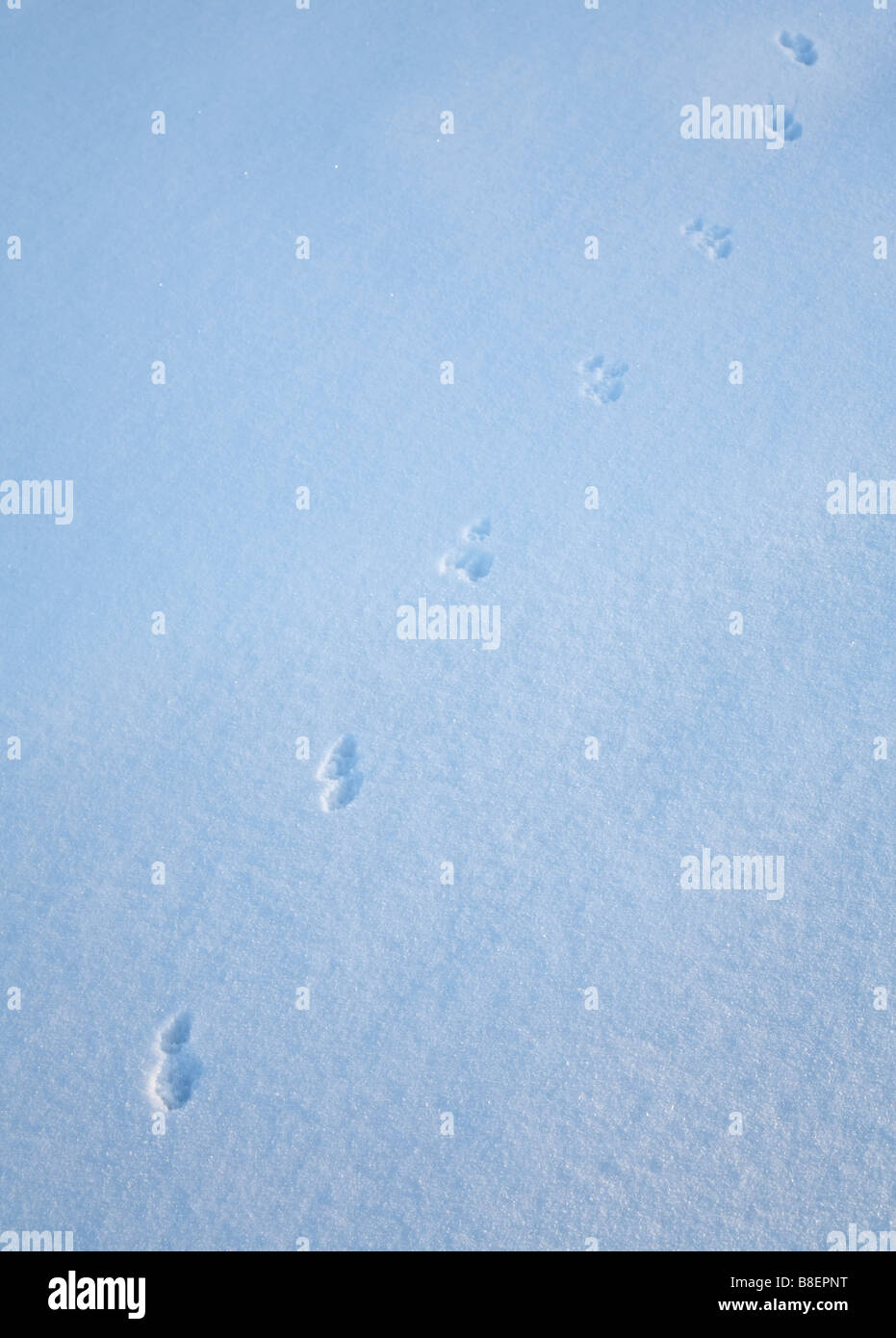 Animal tracks on snow ( possibly weasel , Mustela nivalis ) - Stock Image