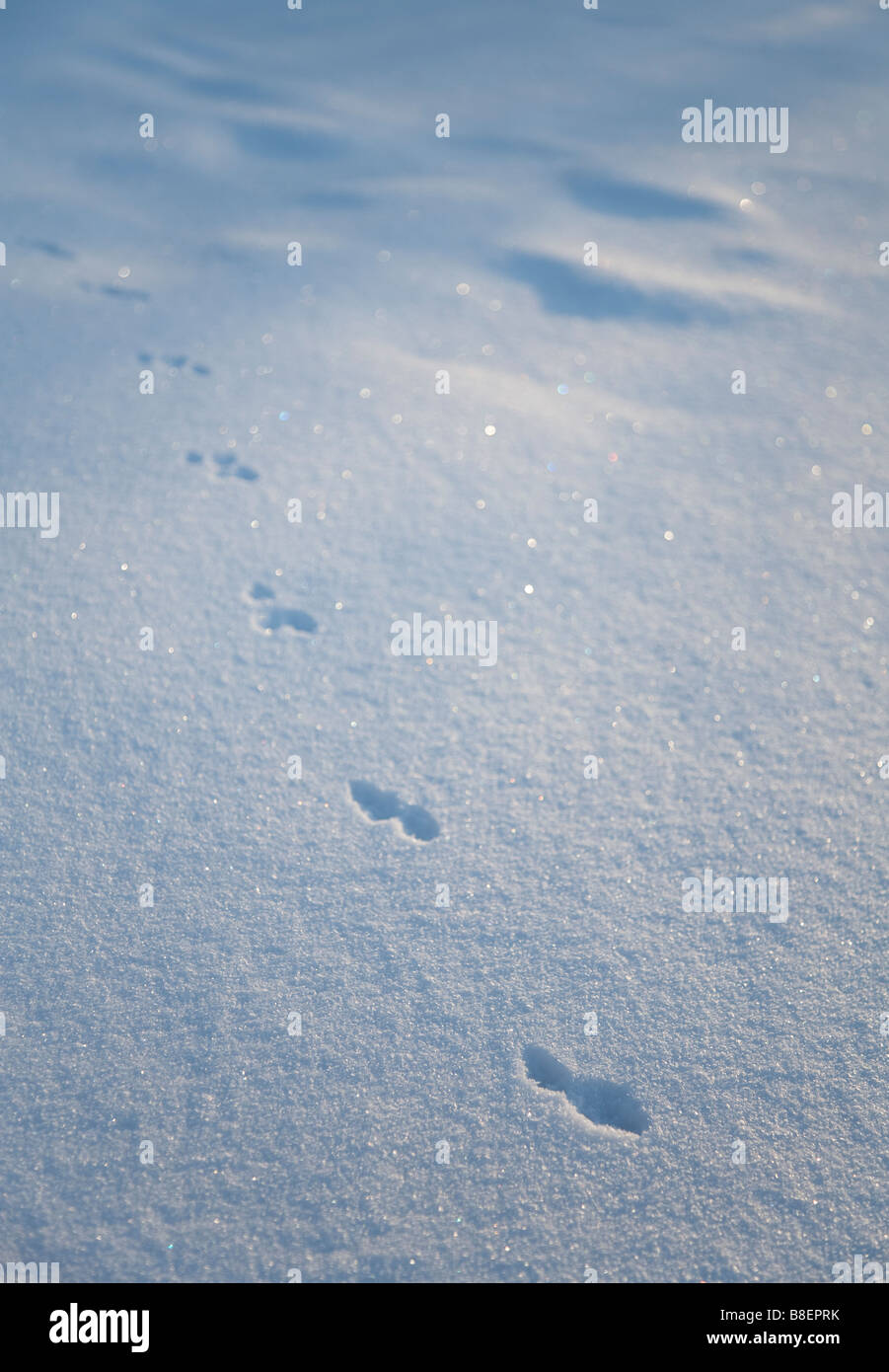 Animal paw prints on snow ( possibly weasel , Mustela nivalis ) - Stock Image