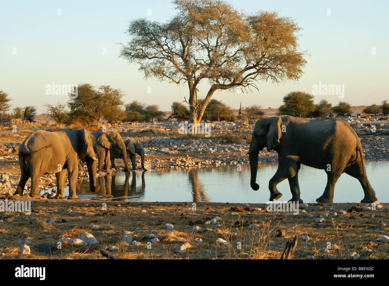 Elephants at waterhole, Okaukuejo, Etosha National Park, Namibia - Stock Image