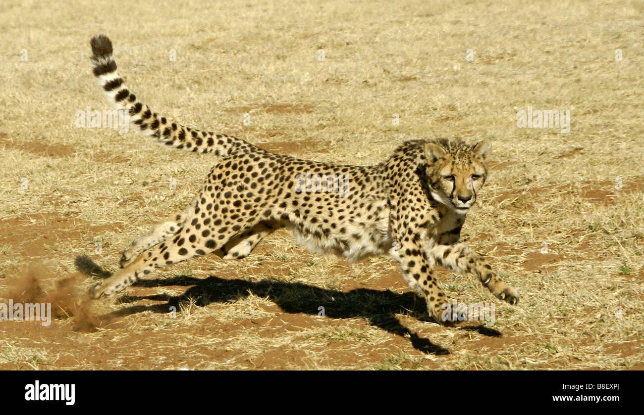 Running cheetah Stock Photo