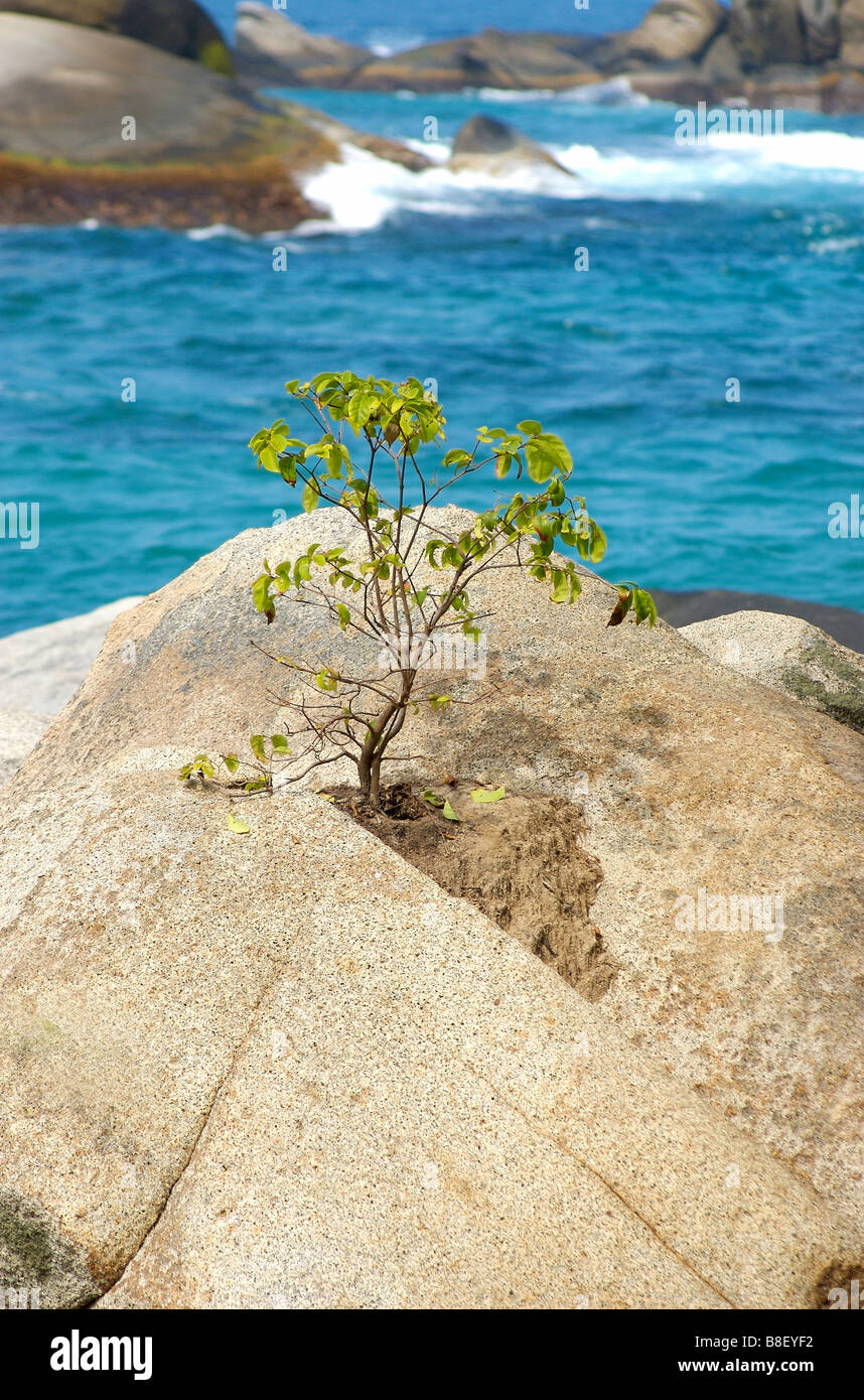 A tree growing out from a rock in Tayrona National Park - Stock Image