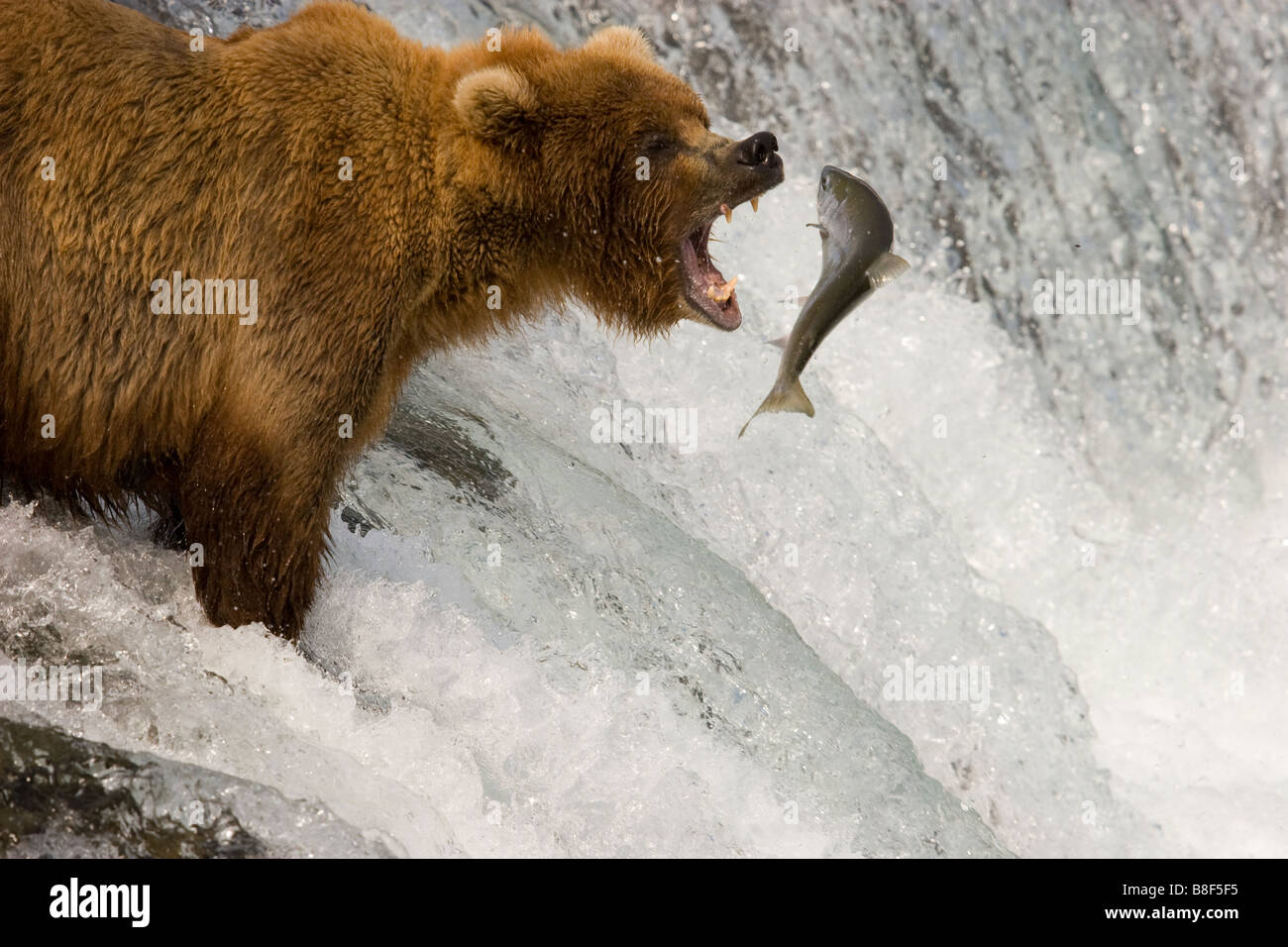Brown Grizzly Bear Ursus arctos horribilis fishing for sockeye salmon Katmai National Park Alaska - Stock Image