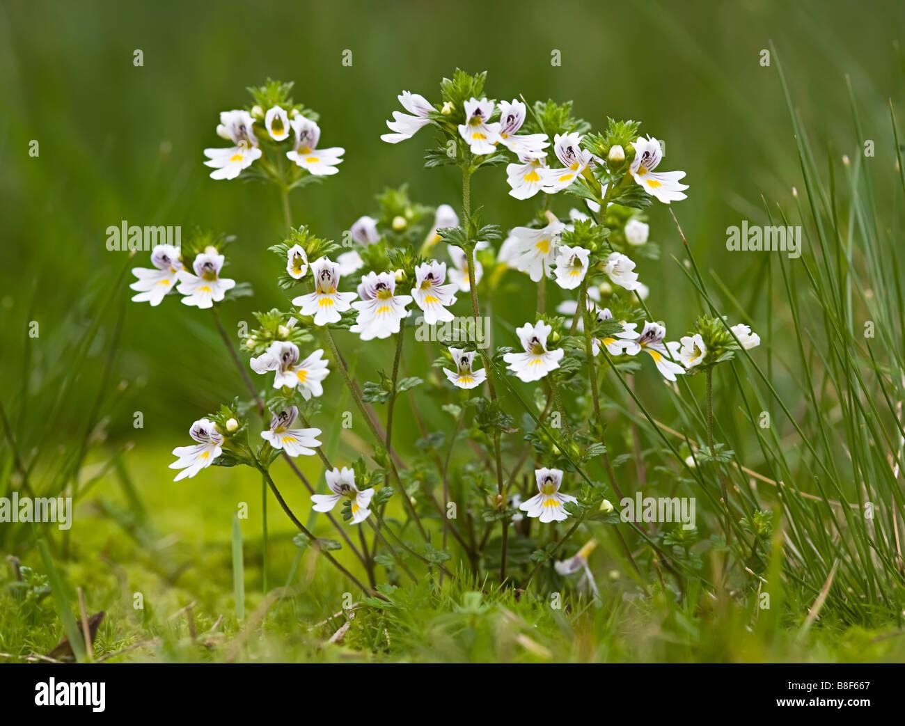 Eyebright Euphrasia officinalis wildflower Bavaria Germany - Stock Image