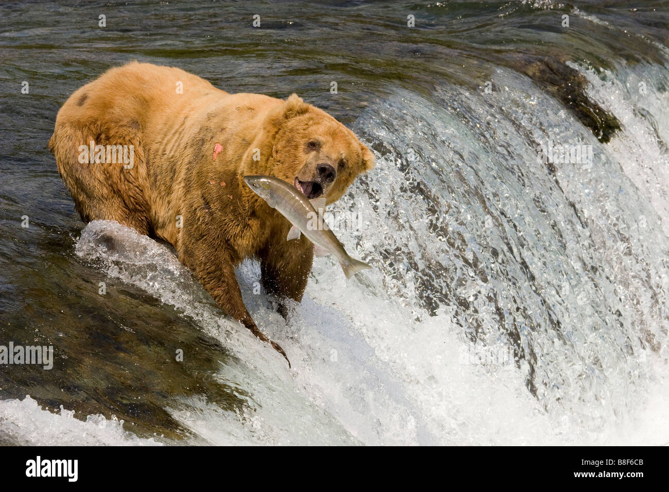 Brown Grizzly Bear Ursus arctos horribilis sockeye salmon fishing Katmai National Park Alaska Stock Photo
