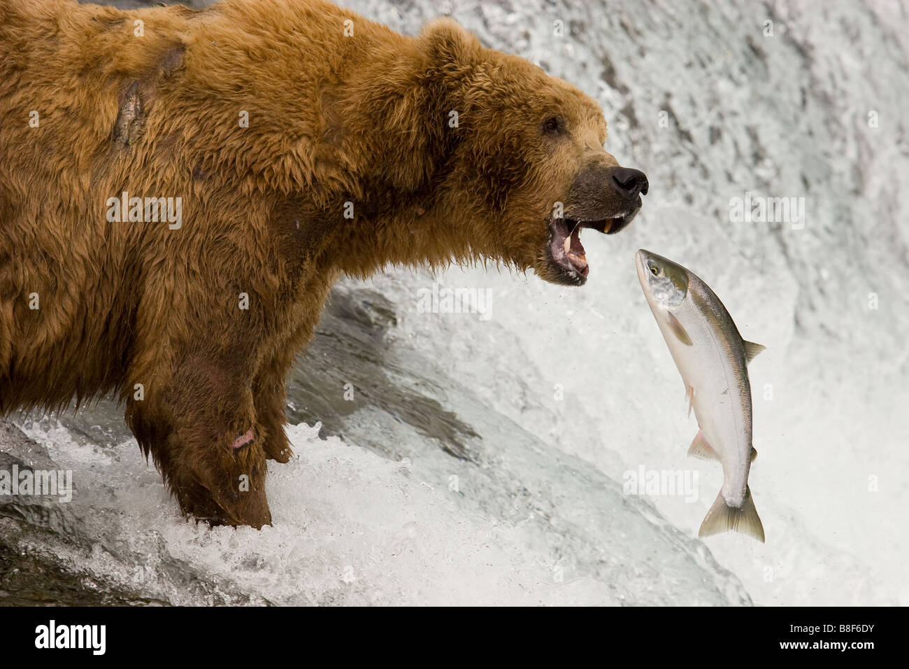 Brown Grizzly Bear Ursus arctos horribilis Katmai National Park Alaska - Stock Image