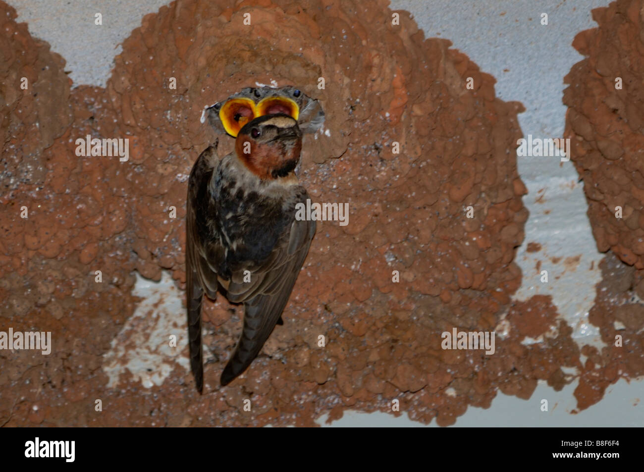 Cave Swallow, Petrochelidon fulva, nesting sites under a bridge in the countryside of Oklahoma, USA. - Stock Image