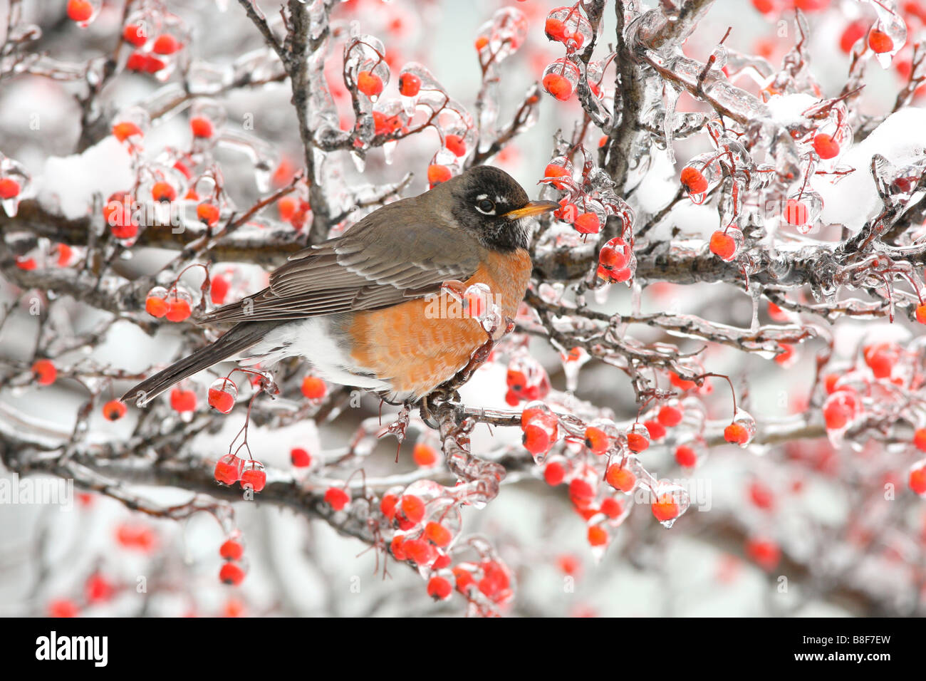 American Robin Perched in Hawthorn Berries with Ice and Snow - Stock Image