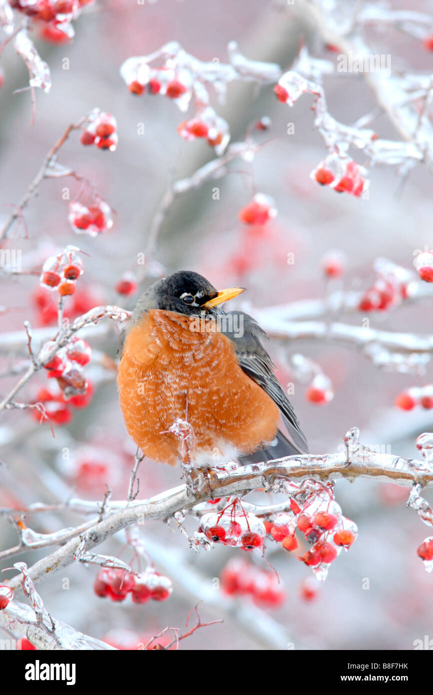 American Robin Perched in Hawthorn Berries with Ice - Vertical - Stock Image