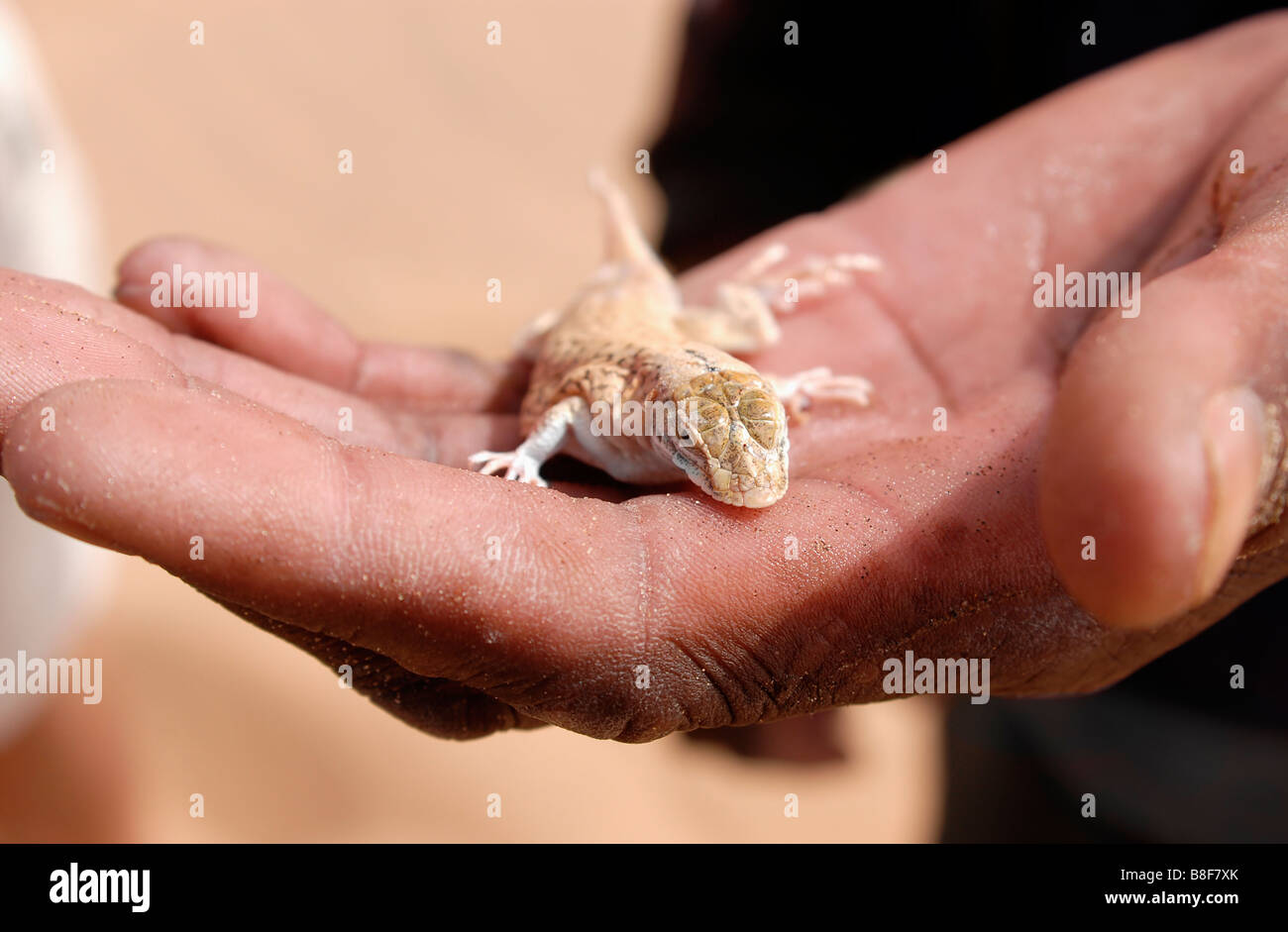 Image of a Namib Web Footed Gecko on a Hand in the Namib Desert National Park Stock Photo