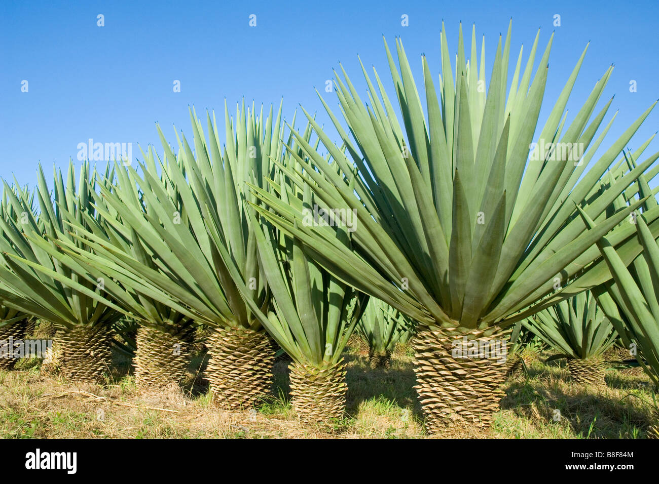 sisal plants agave sisalana yield a stiff fibre traditionally used