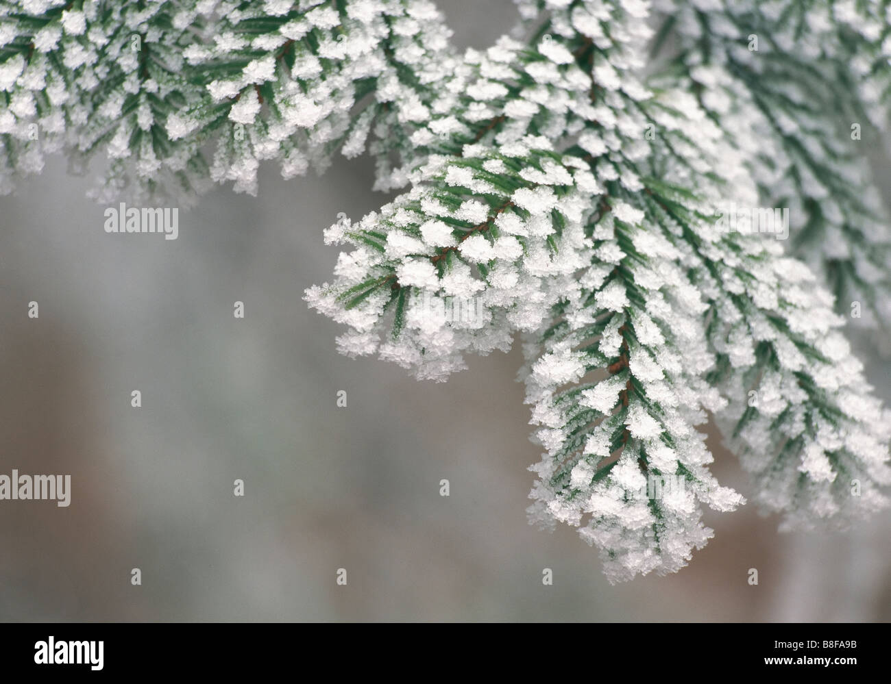 Fir branch with hoarfrost - Stock Image