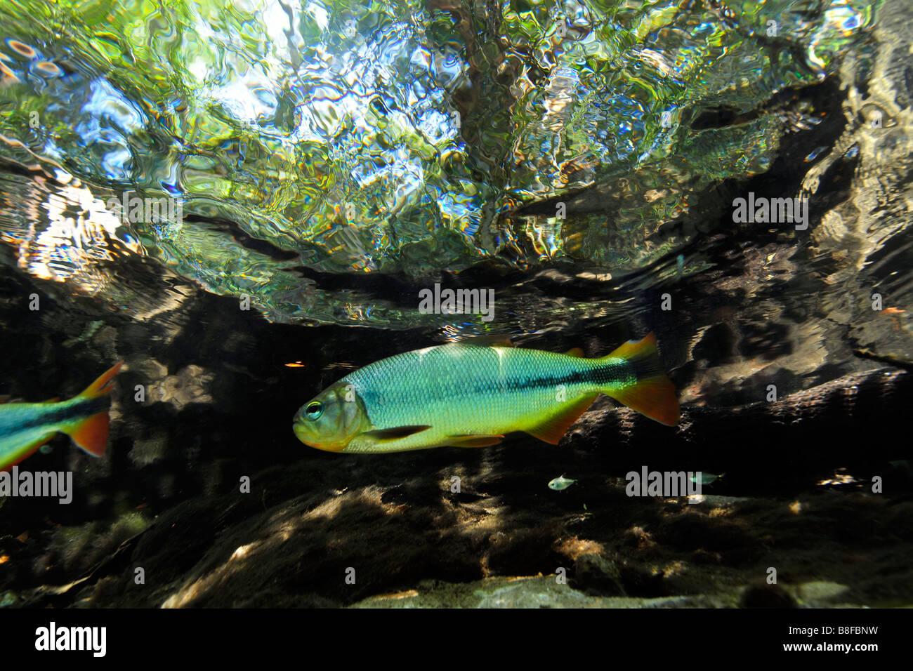 Characins or piraputangas, Brycon hilarii, at Prata river, Bonito, Mato Grosso do Sul, Brazil Stock Photo