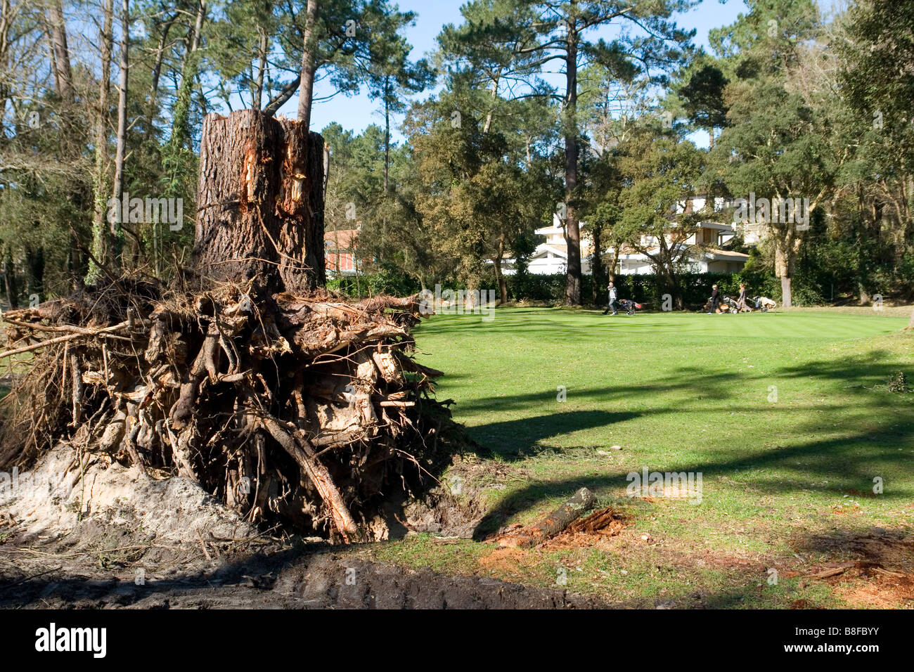 The stump of a more than a century old pine tree after the tempest (Landes - France). Vieux pin dessouché après - Stock Image