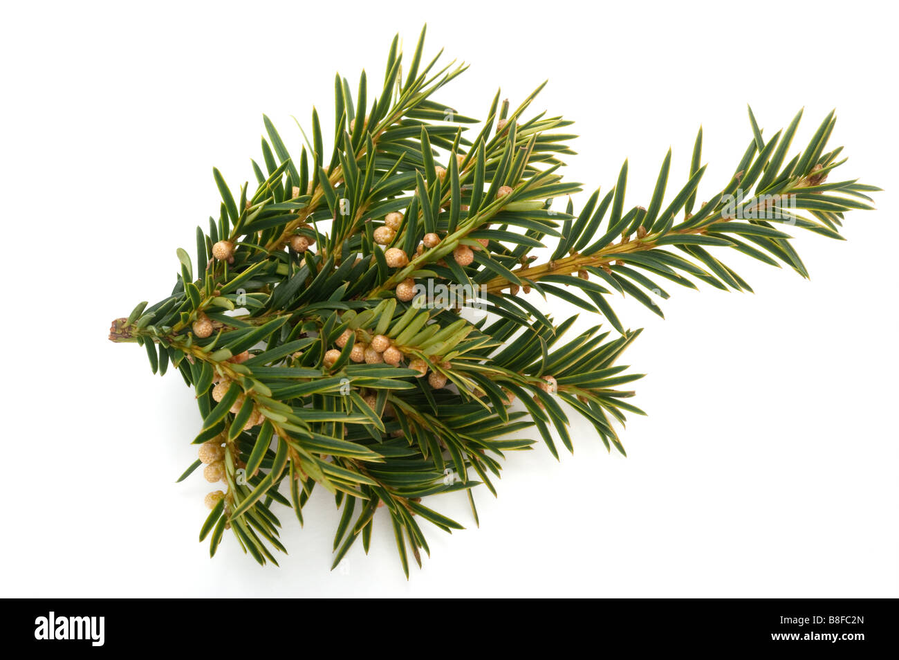 taxus baccata - Stock Image