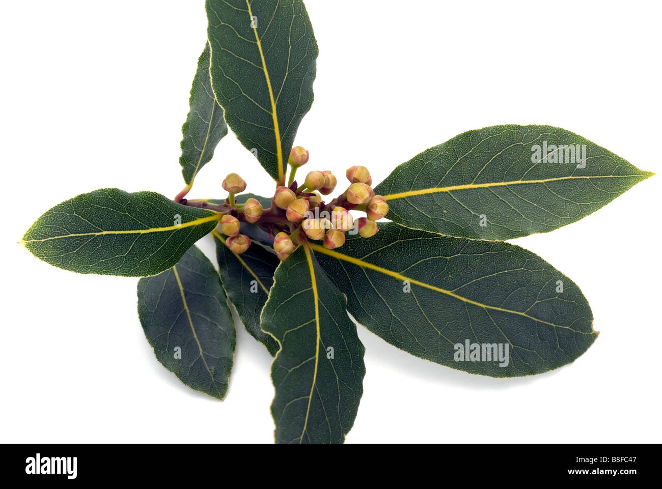Flower buds on a bay 'laurus nobilis'  branch - Stock Image