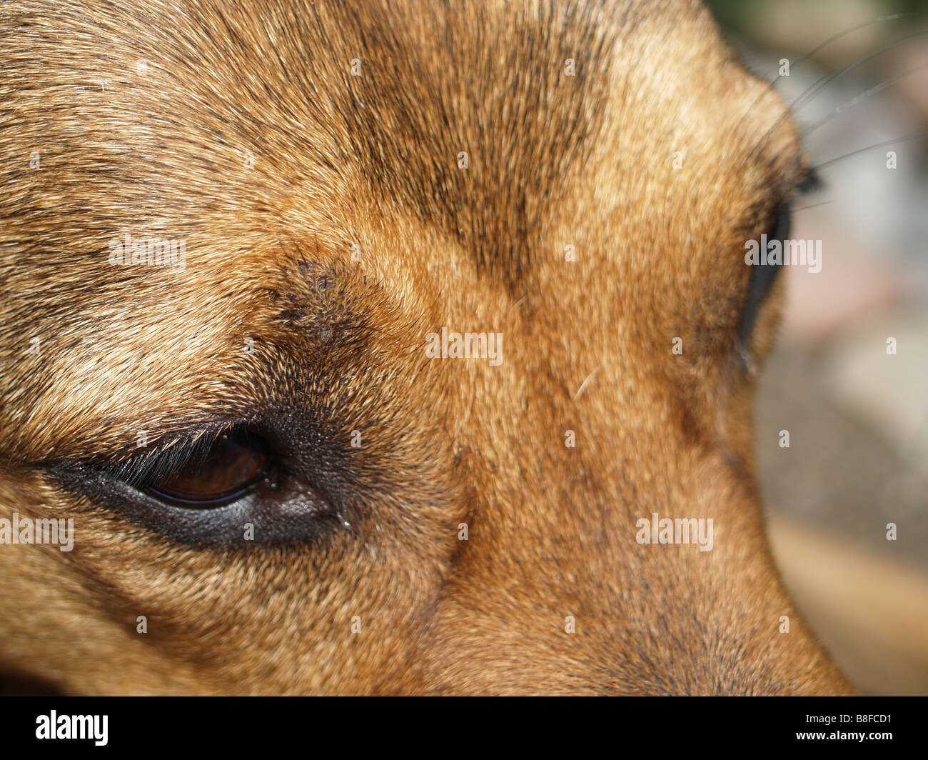 Extreme close up of a cute brown dog. - Stock Image
