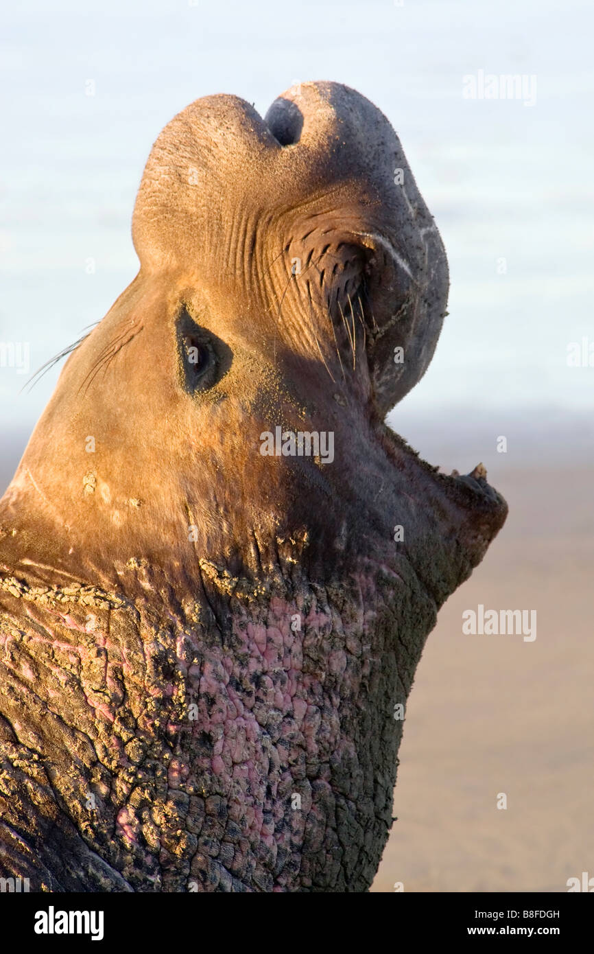An adult male Northern Elephant Seal roaring - Stock Image