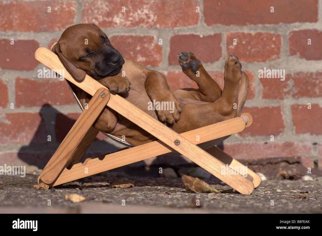 Rhodesian Ridgeback (Canis lupus familiaris), sleeping in a dolls sunchair - Stock Image