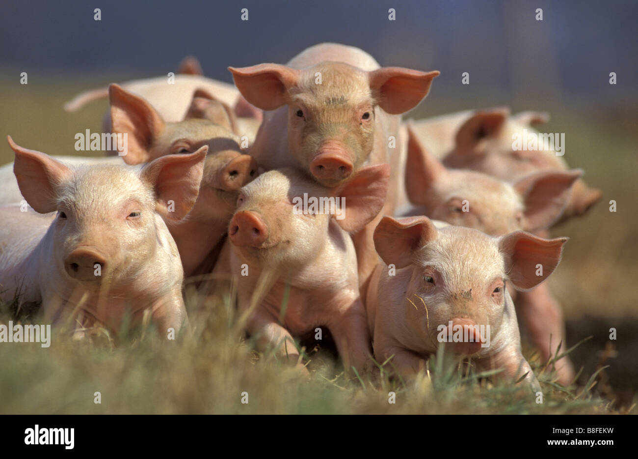 Domestic Pig (Sus scrofa domestica). Pile of piglets looking into the camera - Stock Image